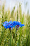 Blue cornflower in the field among the ears of cereal Stock Photo