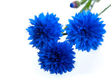 Blue Cornflower Flower Royalty Free Stock Photos