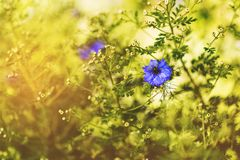 Blue cornflower flower Stock Images