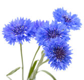 Blue cornflower. Flower bouquet isolated Stock Photos