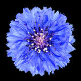 Blue Cornflower Flower Isolated on Black Background Stock Images