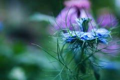 Blue cornflower flower macro Stock Image