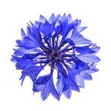 Blue cornflower flower Stock Image