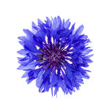 Blue cornflower flower Stock Image
