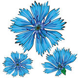 Blue cornflower flowers isolated on white stock illustration
