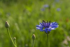 Blue cornflower with a fly on it in the field after the rain royalty free stock photo