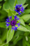 Blue cornflower. In the gardenge Royalty Free Stock Photography