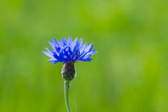 Blue Cornflower. Cornflower on the green background Stock Photos