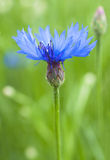 Blue cornflower on green background Royalty Free Stock Photos