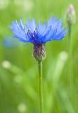 Blue cornflower on green background Royalty Free Stock Photos