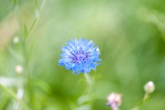 The blue cornflower and a green grass Stock Images