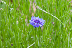 Blue cornflower in green meadow Stock Images