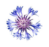 Blue cornflower. The isolated background Royalty Free Stock Photography