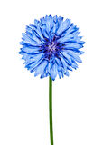 Blue CornFlower Isolated on White Stock Image