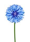 Blue CornFlower Isolated on White Stock Image