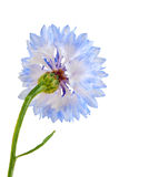 Blue cornflower isolated on the white background. Royalty Free Stock Photos