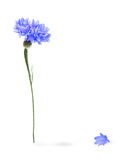 Blue cornflower isolated Stock Photo