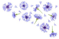 Blue cornflower isolated on white background with copy space for your text. Top view. Flat lay pattern Stock Image