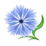 Blue cornflower isolated on white. Royalty Free Stock Images