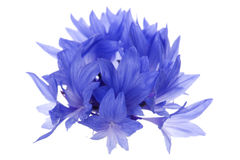 Blue cornflower macro Royalty Free Stock Photo