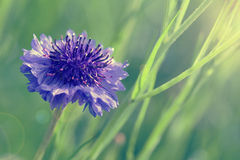 Blue cornflower Stock Images