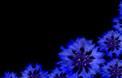Blue cornflower spring border Royalty Free Stock Photos