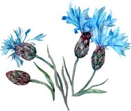 Blue cornflower. Summer wild flower composition. Watercolor floral illustration. stock illustration