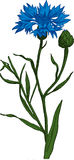 Blue Cornflower. Vector Royalty Free Stock Image