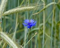 Blue cornflower Royalty Free Stock Photography