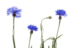 Blue cornflower on white Stock Photos