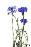 Blue cornflower on white background Royalty Free Stock Images