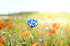 Blue cornflowers Royalty Free Stock Photos