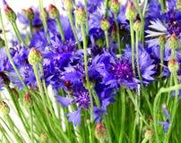 Blue cornflowers royalty free stock photography