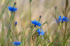 Blue cornflowers Royalty Free Stock Images