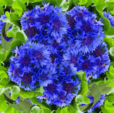 Blue cornflowers background stock photo
