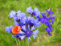 Blue cornflowers. Beautiful bouquet of blue cornflowers pick in summer meadow, Lithuania Stock Photos
