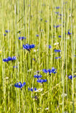 Blue cornflowers bloom in a field sown with rye Royalty Free Stock Images