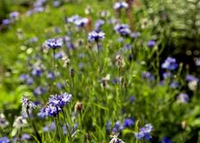 Blue cornflowers blossomed Royalty Free Stock Image