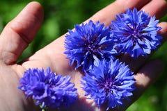 Blue cornflowers. On human hand stock image