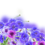 Blue cornflowers royalty free stock image