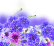 Blue cornflowers stock photos