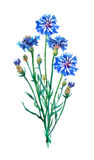 Blue cornflowers bouquet. Royalty Free Stock Images