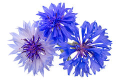 Blue cornflowers Stock Image
