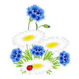Blue cornflowers and chamomiles with ladybug on a white background. Royalty Free Stock Photography