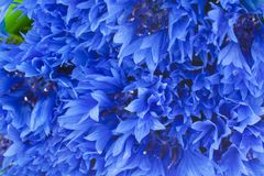 Blue cornflowers closeup background Stock Photography