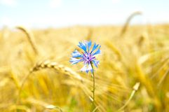 Blue cornflowers in field Royalty Free Stock Photography