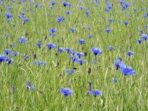Blue cornflowers field Royalty Free Stock Photo