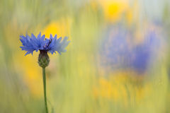 Blue cornflowers in a field of flowers. Blue cornflowers in a field of yellow flowers Royalty Free Stock Image