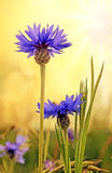 Blue cornflowers in a field Royalty Free Stock Photography