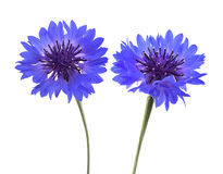 Blue cornflowers isolated Royalty Free Stock Images